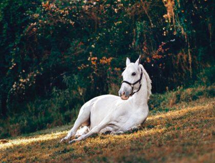 colique chez le cheval : attention danger