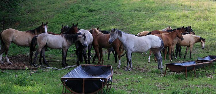 La proximité des chevaux entre eux favorise la transmission des parasites.