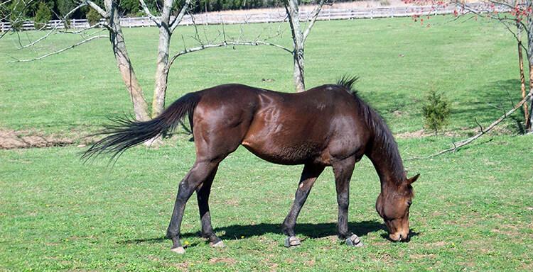 Si votre cheval maigrit alors qu'il est correctement nourri, peut-être est-il infecté par des vers...
