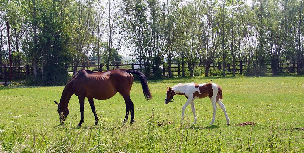 gestation et poulinage