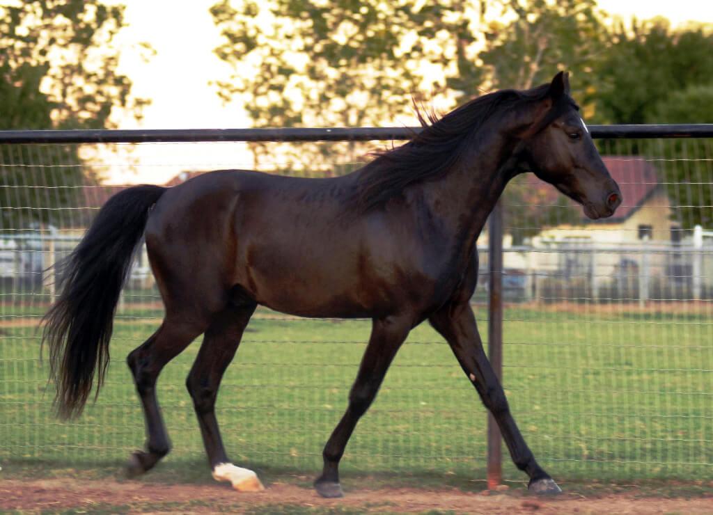 Cheval smoky black