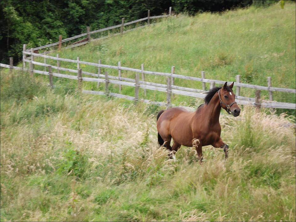 soigner la fourbure chez le poney