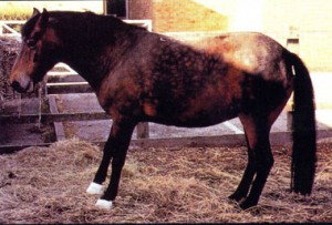 Posture caractéristique d'un cheval fourbu