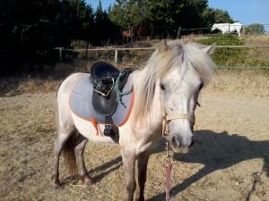 Attention à ne pas choisir un cheval trop jeune. Ici un shetland en cours de débourrage
