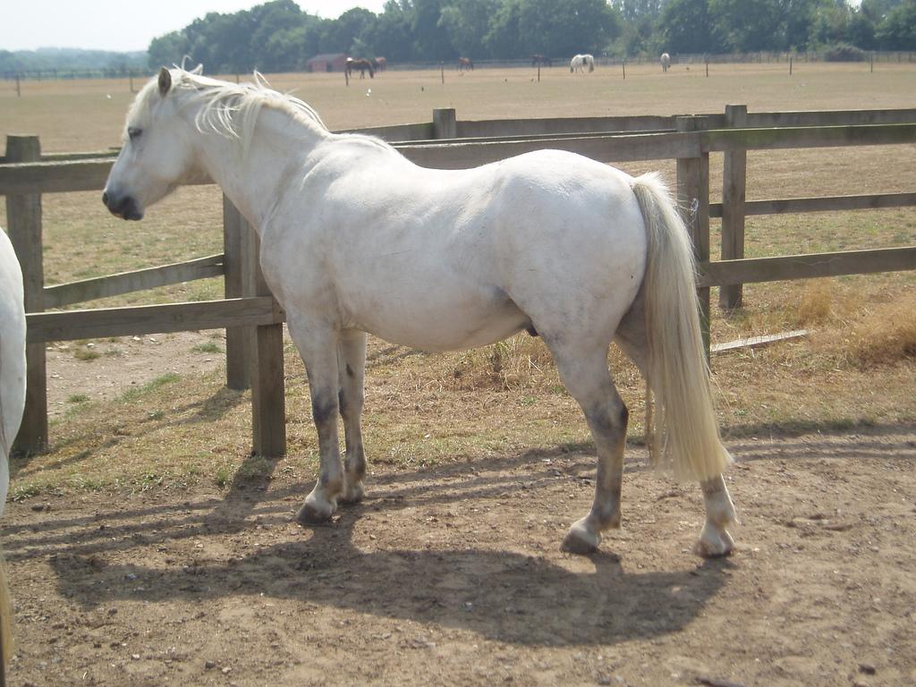 Avec l'âge, les chevaux gris peuvent virer au blanc. Il s'agit bien sûr d'un faux blanc, codée par le gène Grey et non par le gène White. © Georgia Reading