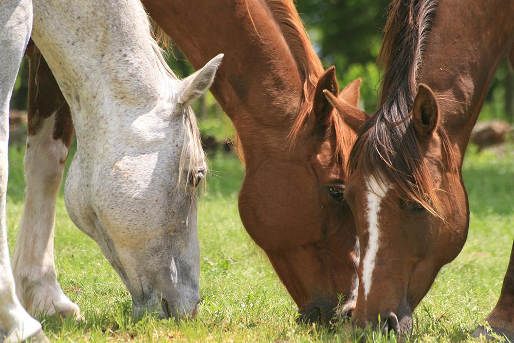nourrir un cheval