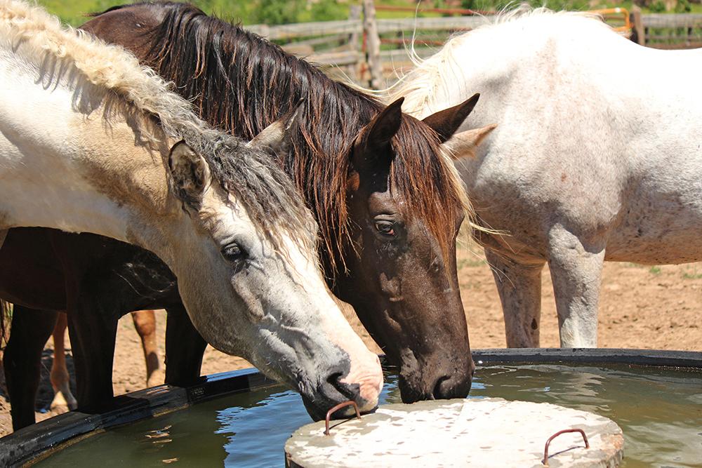 chevaux qui boivent de l'eau