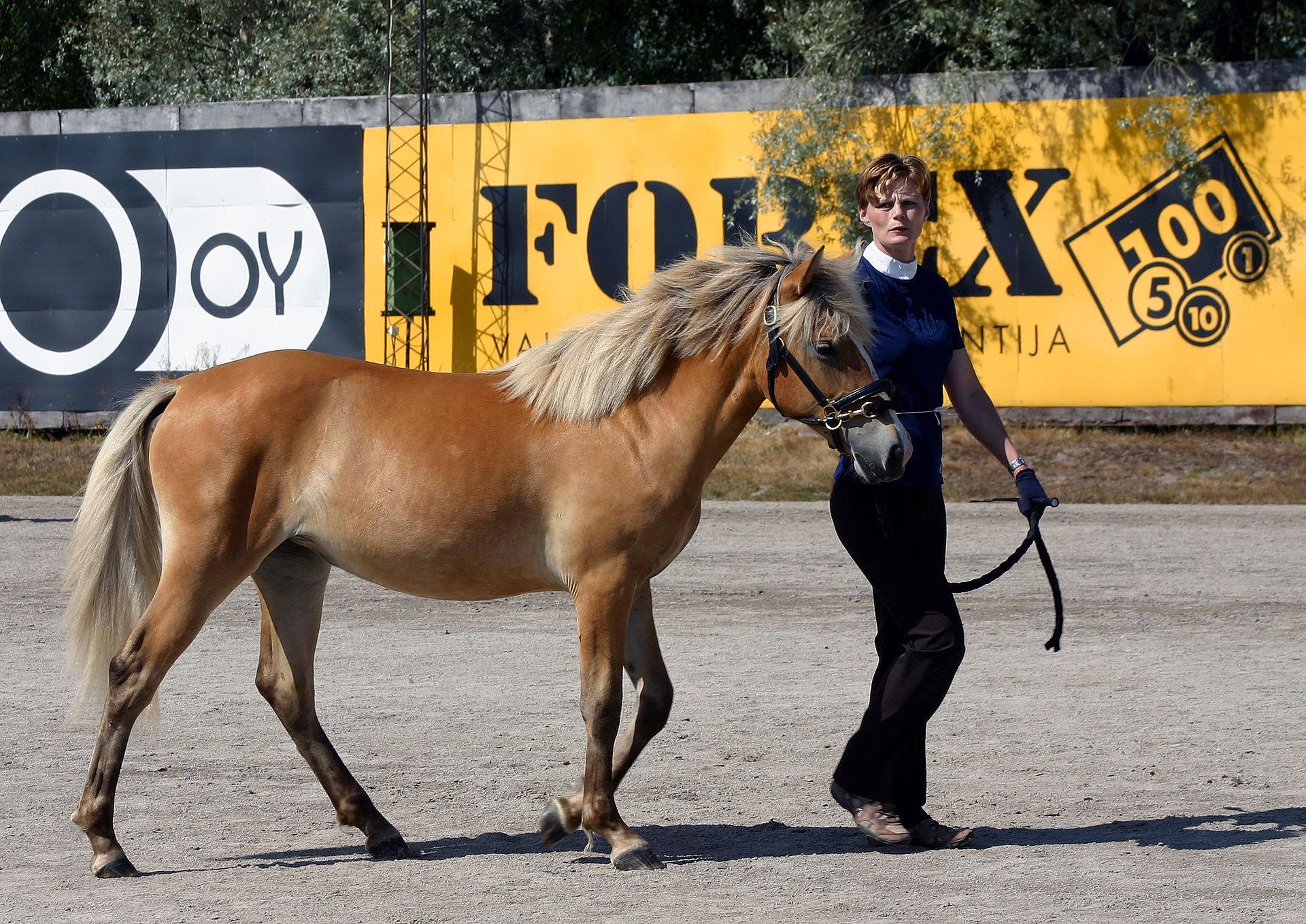 Le cheval silver bay ressemble à l'alezan crins lavés. © Wikipedia