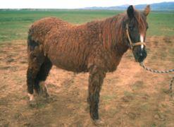 L'hirsutisme est un symptôme spécifique du cushing (ici, cheval très atteint)