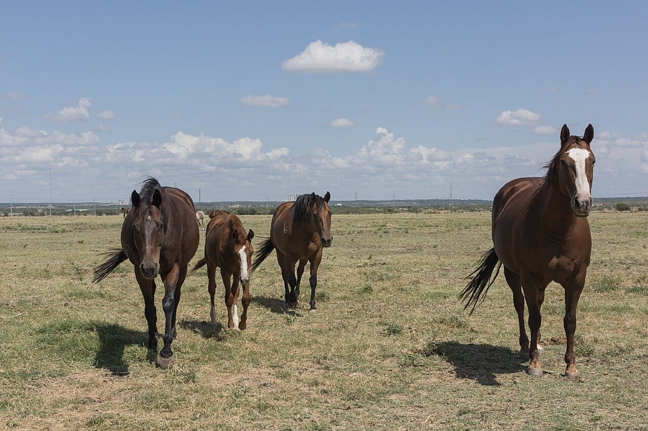 quarter-horses-754718_1280