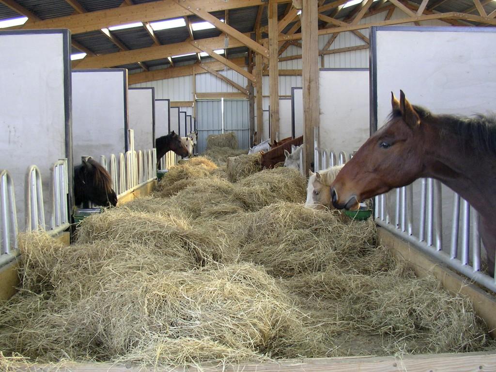 chevaux en train de manger du foin