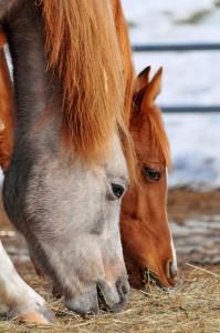 chevaux en train de manger du foin au sol