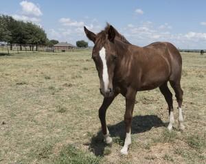 quarter-horse-893338_960_720