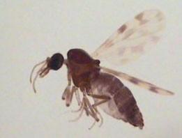 femelle-culicoides