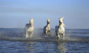 courbature cheval