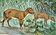 Evolution du cheval : Hyracotherium