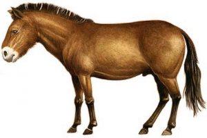 Evolution du cheval : le Pliohippus