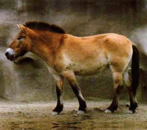 Evolution du cheval : le Prjevalski