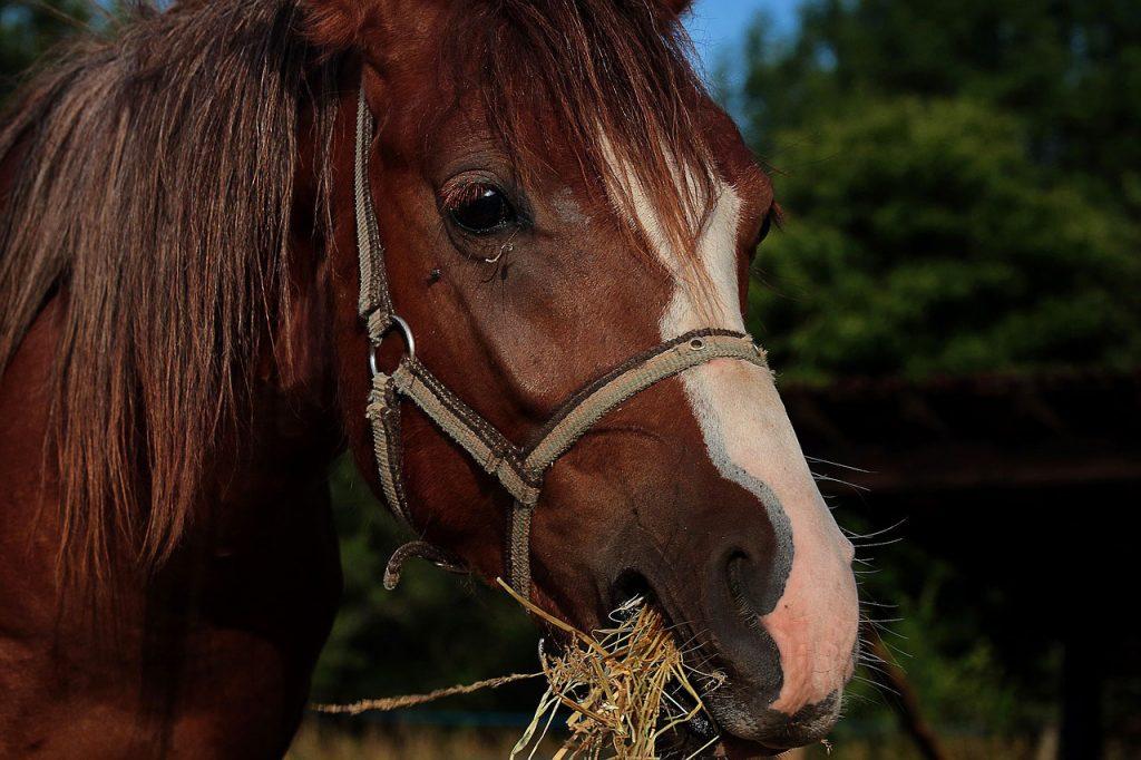 cheval qui mange du foin