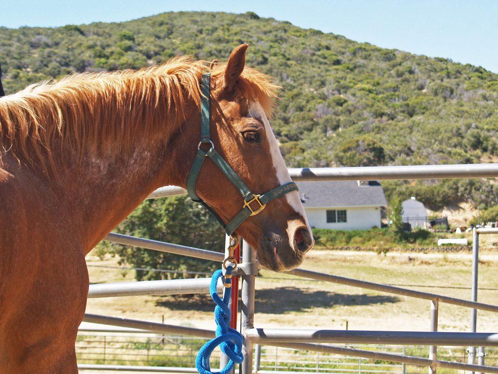 surveillez la respiration de votre vieux cheval