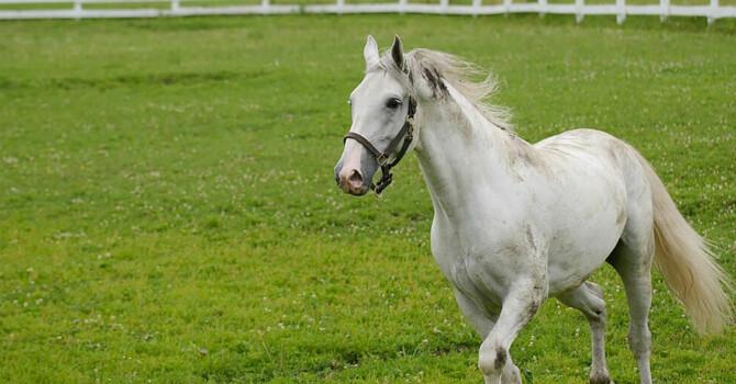 cheval lipizzan gris