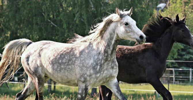 chevaux pur-sang arabe
