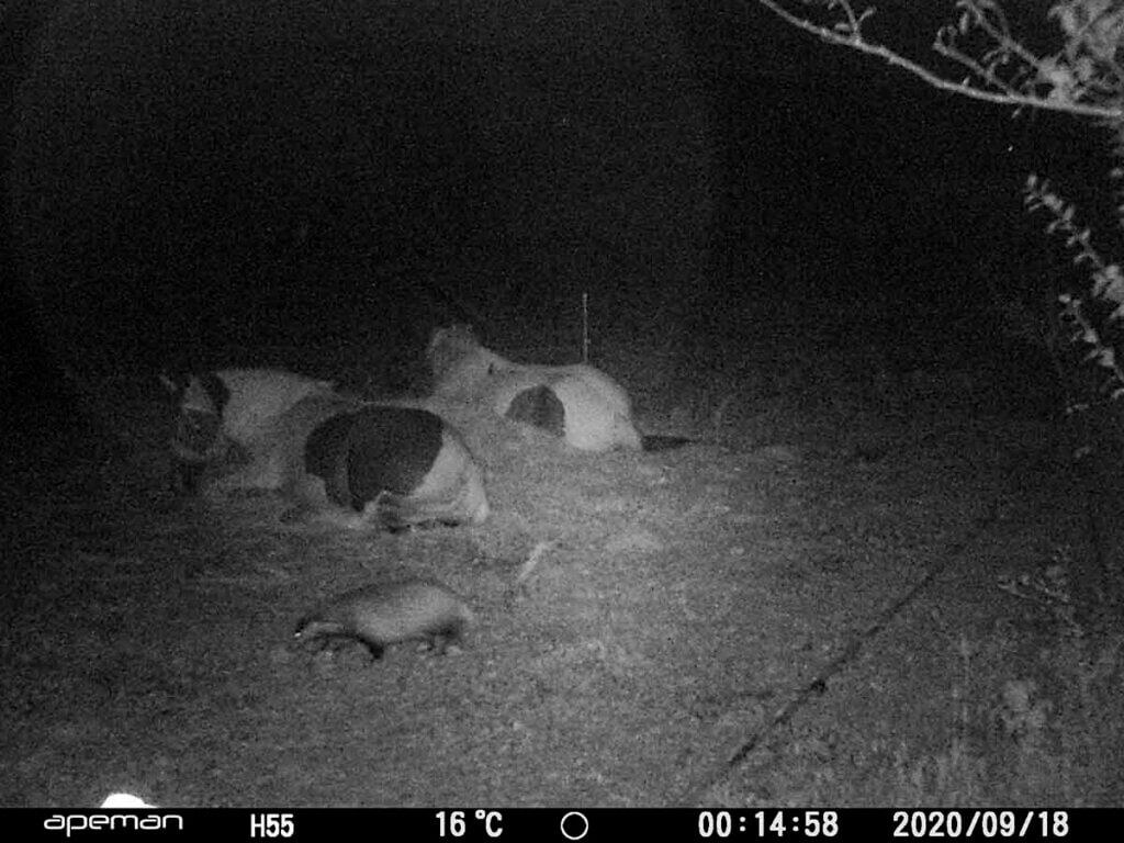 vidéo camera surveillance : chevaux en train de dormir avec des animaux sauvages à côté