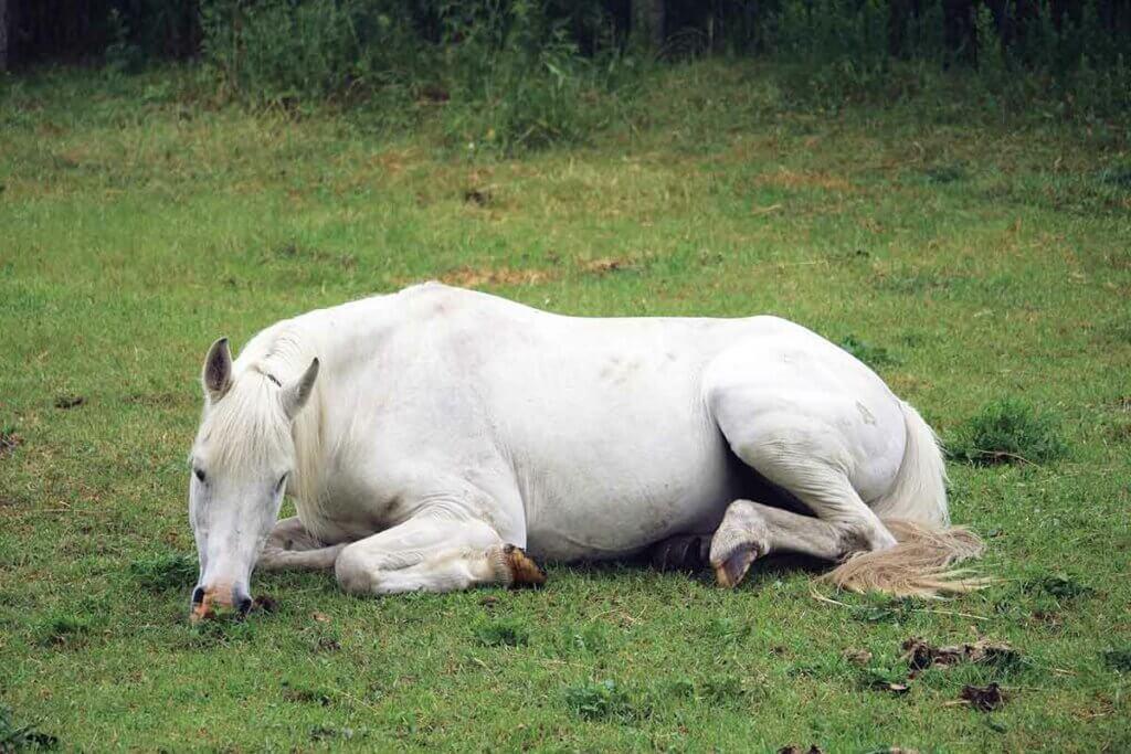 un cheval gris au pré couché en vache