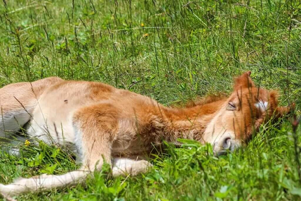 poulain allongé dans son pré, en train de dormir