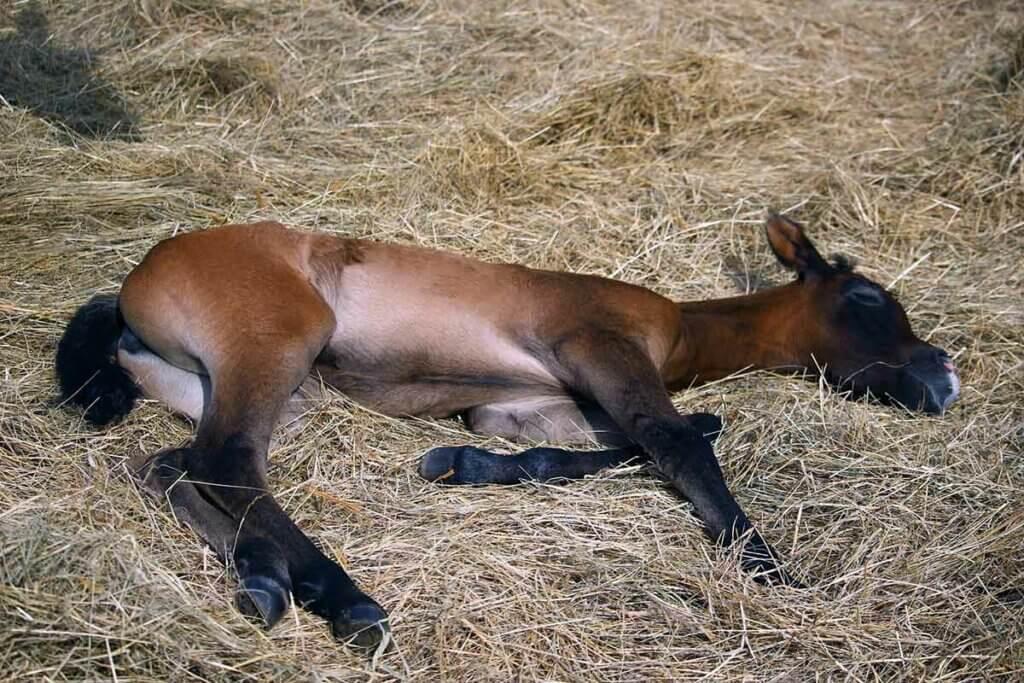 un poulain en pleine phase de sommeil paradoxal dans de la paille