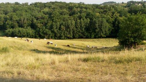 chevaux au pré en troupeau dans plusieurs hectares