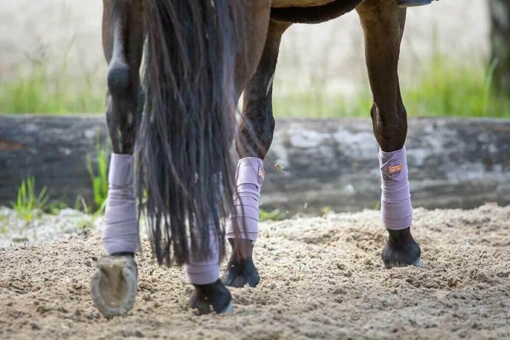 cheval bai en carrière avec des bandes de polo violettes