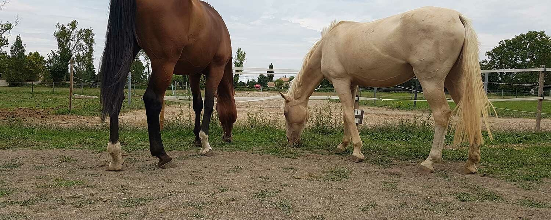 chevaux pieds nus